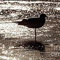 Gull In Silver Tidal Pool by Jim Moore