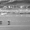 Gulls Taking A Walk by Cindy Lee Longhini