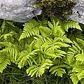Gymnocarpium Robertianum by Bob Gibbons