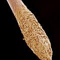 Hair Root, Sem by Susumu Nishinaga