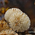 Hairy Aster by Susan Herber