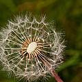Half A Dandelion by Tikvah's Hope