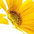 Half Yellow Gerbera by Brad Rickerby