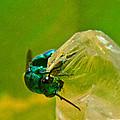 Halicid Wasp 1 by Douglas Barnett