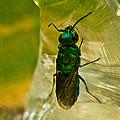 Halicid Wasp 3 by Douglas Barnett