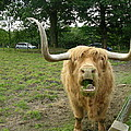 Hamish Highland Bull by Keith Stokes