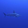Hammerhead Shark, Christmas Island by Mathieu Meur