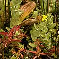 Hampshire Purslane (ludwigia Palustris) by Bob Gibbons
