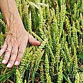 Hand Caressing Wheat by Sami Sarkis