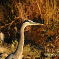 Handsome Heron by Al Powell Photography USA