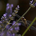 Hanging In The Lavender by Joe Schofield