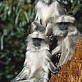 Hanuman Langur Semnopithecus Entellus by Cyril Ruoso