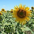 Happiness Is A Sunflower by Amanda Robbemond
