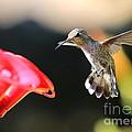Happy Hummingbird by Carol Groenen