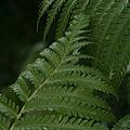Hapuu Pulu Hawaiian Tree Fern - Cibotium Splendens by Sharon Mau
