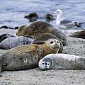 Harbor Seal And Pup by Suzi Eszterhas