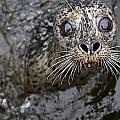 Harbor Seal by Dave Fleetham - Printscapes