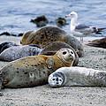 Harbor Seal Phoca Vitulina Mother by Suzi Eszterhas