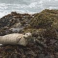 Harbor Seal  Point Lobos State Reserve by Sebastian Kennerknecht