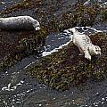 Harbor Seals by Karen Ulvestad