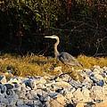 Hard Rock Heron by Al Powell Photography USA