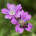 Hardy Geranium And Honey Bee by Kathy Clark