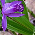 Hardy Orchid 3 by Douglas Barnett