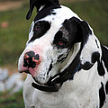 Harlequin Great Dane by Jai Johnson