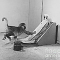 Harlow Monkey Experiment by Science Source