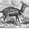 Harnessed Antelope by Granger