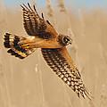 Harrier Over Golden Grass by William Jobes