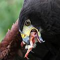 Harris Hawk Feeding by James Hill