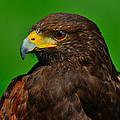 Harris's Hawk by Tony Beck