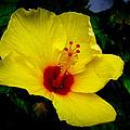Hawaiian Yellow Hibiscus by Athena Mckinzie