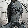 Hawk 7 by Joe Faherty