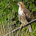 Hawk At A Wedding by Christine Stonebridge