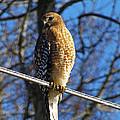 Hawk by Debbie Morris
