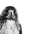 Hawk On White Background by Stephanie McDowell