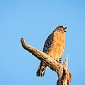 Hawk Screaming by Marx Broszio