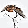 Hawk Taking Flight by Don Mann