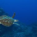 Hawksbill Sea Turtle, Kimbe Bay, Papua by Steve Jones