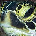 Hawksbill Sea Turtle Portrait by Todd Winner
