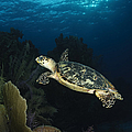 Hawksbill Sea Turtle Swimming by Todd Winner