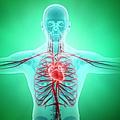 Healthy Cardiovascular System, Artwork by Andrzej Wojcicki