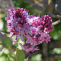 Heart Shaped Lilac by Elizabeth Rose