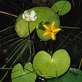 Heart-shaped Water Lily by Steve Winter