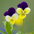 Heartsease (viola Tricolor) by Bob Gibbons