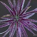 Hechtia Argentea by Penrith Goff