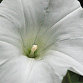 Hedge Morning Glory by Tikvah's Hope