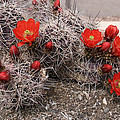 Hedgehog Cactus With Red Blossoms by Elizabeth Rose